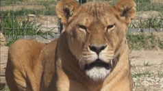 Lions in Crimea face starvation over crisis