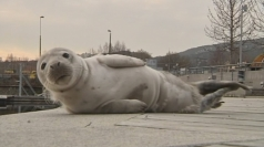 Baby seal found in Sweden harbour
