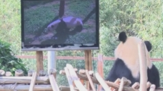 Lonely panda gets own TV in Chinese zoo