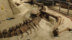 Rare T-Rex bones unveiled at Washington museum
