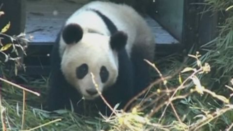 Giant panda adapts well to being released into the wild