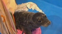 Baby seals rescued from oil pollution
