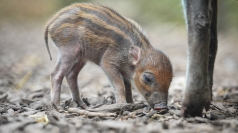 Rare piglet born at Chester Zoo