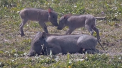 Hogging the limelight: Two cute warthog families born in zoo