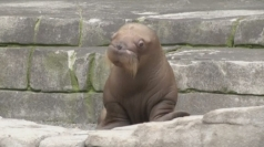 First ever walrus pup born in German zoo makes its debut