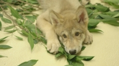 San Diego Zoo's adorable grey wolf pup gets a new job
