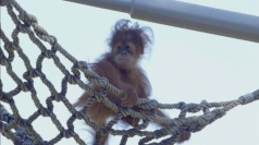 Eight-month-old Orangutan doing well at San Diego Zoo