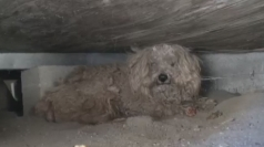 Dog lives under a shed for a year after owner dies