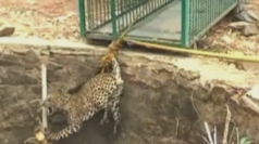 Dramatic footage of leopard rescued from a well in India