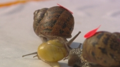World Snail Racing Championships 2014