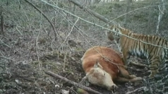 Video shows hungry wild Siberian tiger feeding on an ox