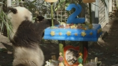 Giant panda Xiao Liwu turns two