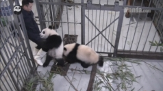 Cuddly panda latches onto keeper's leg