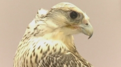 Falcon beauty pageant in Abu Dhabi