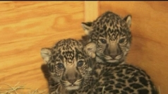 Jaguar cubs settle into life at San Diego Zoo.