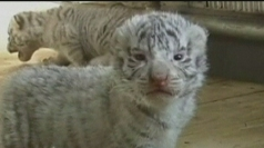 White Siberian tiger cubs.