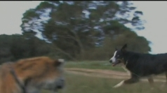 Solo the Border Collie shows this tiger who is boss.