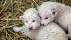 Adorable white lion cubs born in Mexico