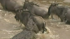 Wildebeest herd takes on deadly Mara crocodile crossing.