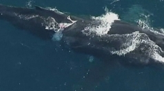 Whale calf injured by propeller has good survival chance