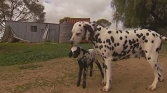 Australian dog adopts orphaned lamb