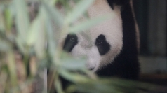 Cute Pandas Alert! Baby sleeps in mother's arms on Panda Cam