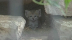 Rare sand kittens born in Israel