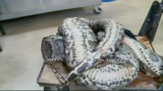 Crazy Wildlife: Huge snake found in Florida