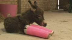 Wonky donkey has front legs set in casts