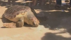 Turtles returned to sea from rehab