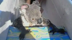 Koala hitches a ride in a canoe in Australia