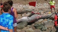 Great white shark washes up on New England beach