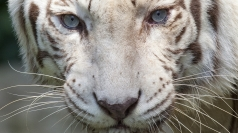 Rare white tiger cubs unveiled in Czech Republic