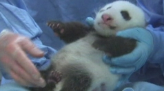 Incredibly cute panda cub opens its eyes for the first time