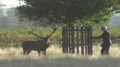 Gangnam Stag: Testosterone fuelled deer chases man in remix