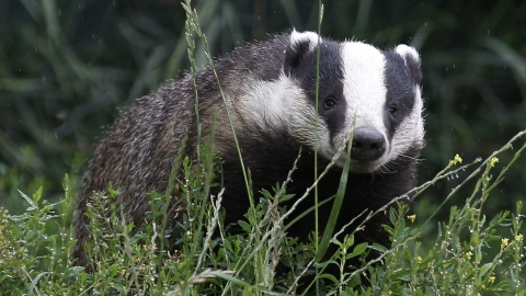 Thousands of badgers could be culled.