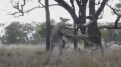 Vicious kangaroo fight captured on camera in Australia