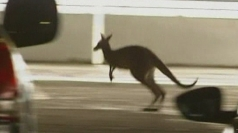 Kangaroo sparks hunt in multi-storey carpark in Australia
