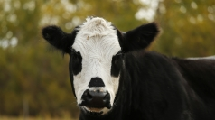 A cow has featured in one of the weirdest insurance claims