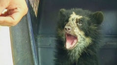 Juanita the endangered bear cub saved from poachers in Peru
