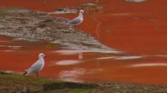 Rare algae turns Sydney sea to the colour of tomato soup