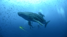 Divers involved in dramatic whale shark rescue in Mexico