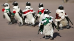 Penguins in Japan dress up as Santa's little helpers