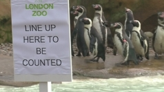 Penguins wait to be counted