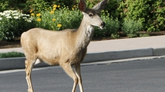 Wild deer charges down Essex road, injures woman