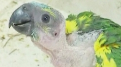 Parrots rescued from animal traffickers in Paraguay
