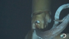 Deep-sea footage reveals giant squid in natural habitat