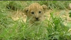 Colombian zoo welcomes three lion cubs