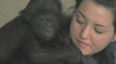 Baby gorilla raised by human surrogates