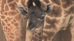 Cute baby giraffe born at Los Angeles Zoo